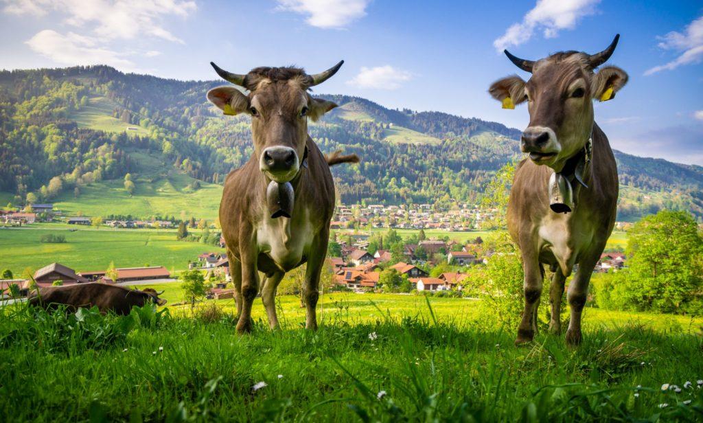 Kühe, lizensiert bei Adobe Stock