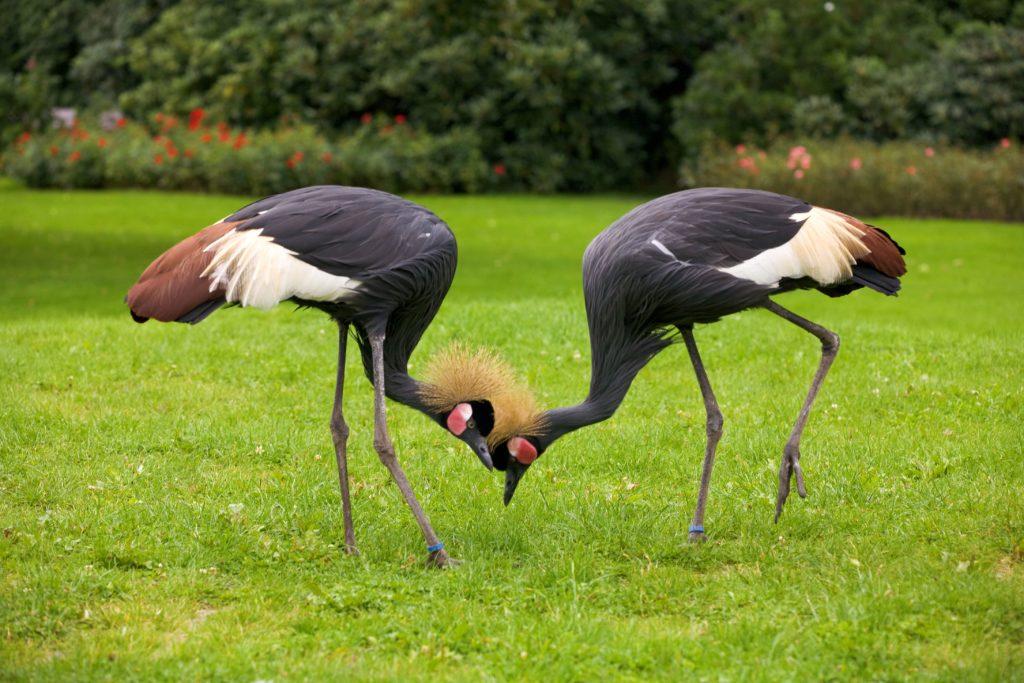 Vogelpark Walsrode, Kraniche, lizensiert bei Adobe Stock